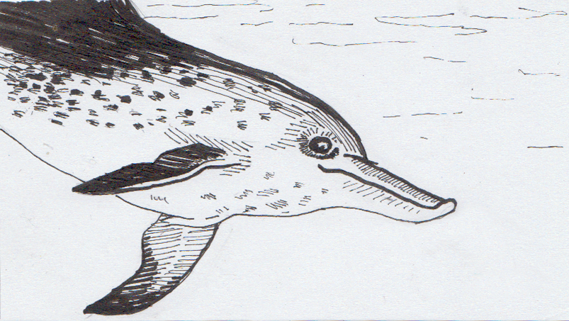 Drawing of an Atlantic Spotted Dolphin