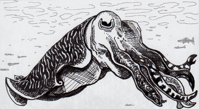 Drawing of Broadclub Cuttlefish (with fightin' stripes)