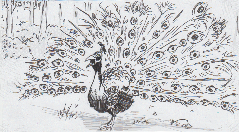 Drawing of Peacock presenting his tail, dropping the bass
