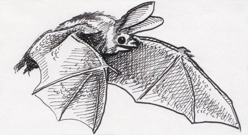 Drawing of Pallid Bat in flight