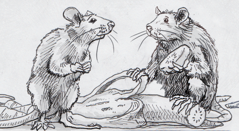 Drawing of Norway rats sharing banana