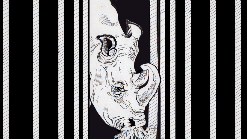 The final countdown on Northern White Rhinos