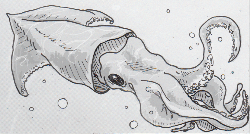 Drawing of red flying squid