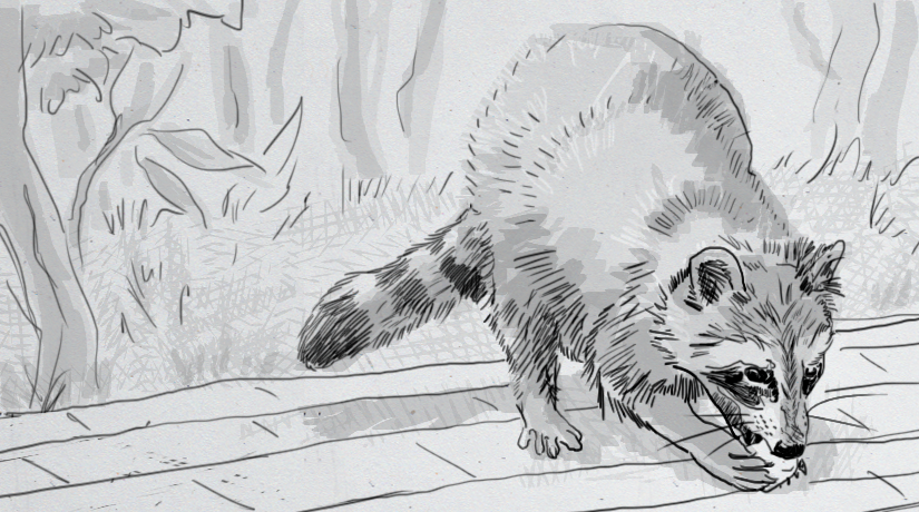 Drawing of a raccoon eating a marshmallow