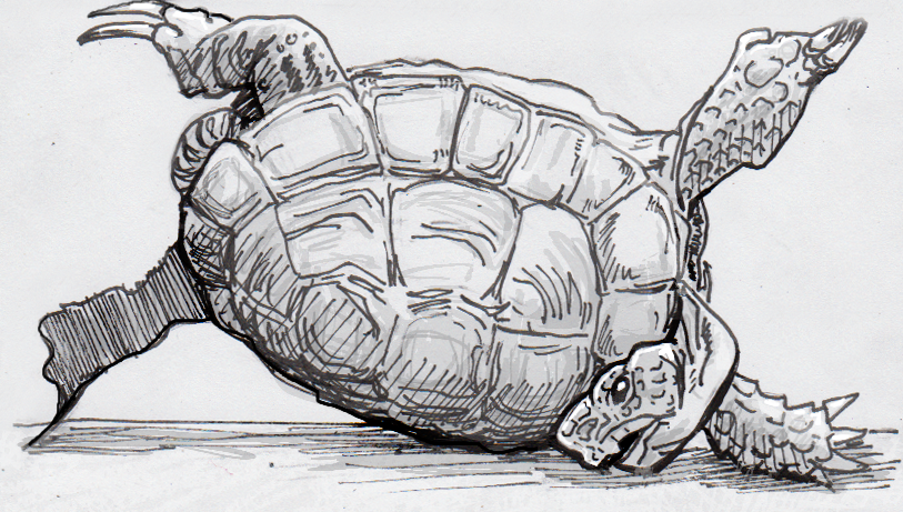 Drawing of a Hermann's tortoise flipped on its back