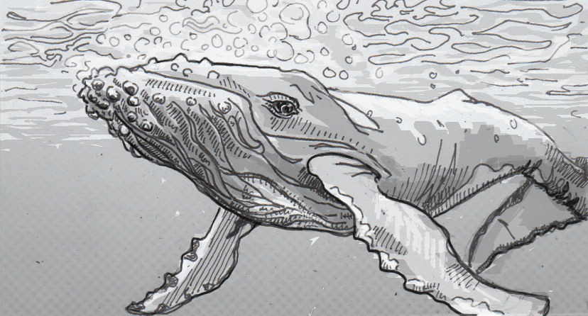 Drawing of a humpback whale