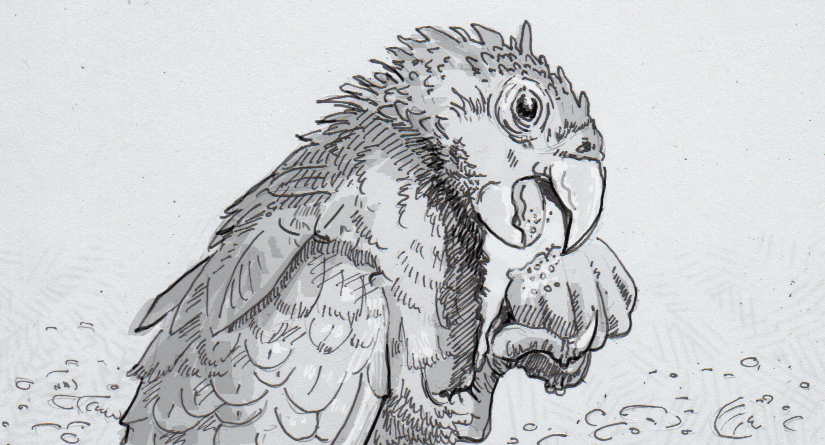 Drawing of a greater vasa parrot