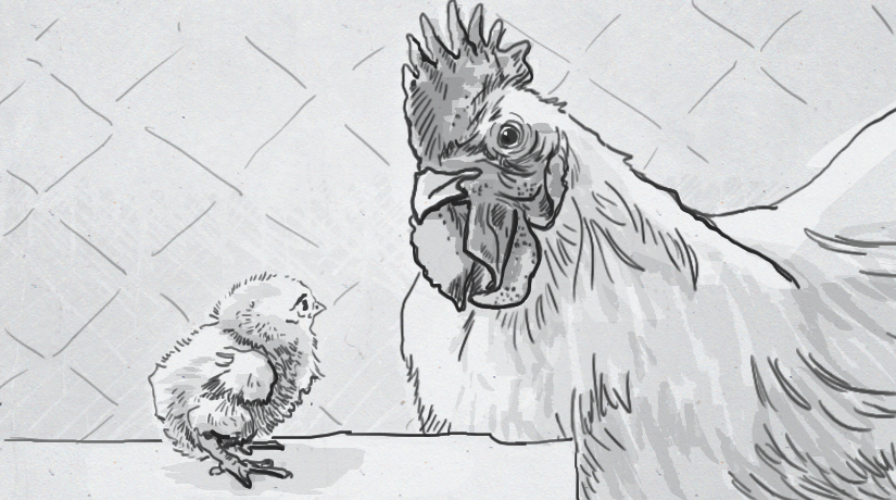 Roosters raise questions about moms' monopoly on mitochondrial DNA