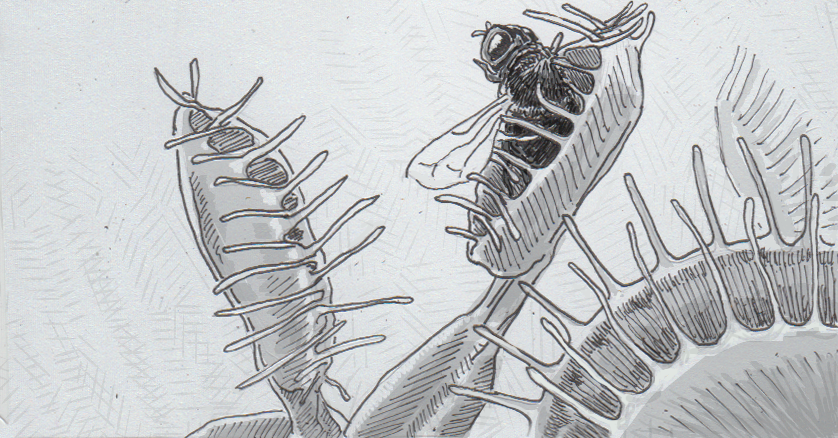 Drawing of a Venus flytrap eating a fly
