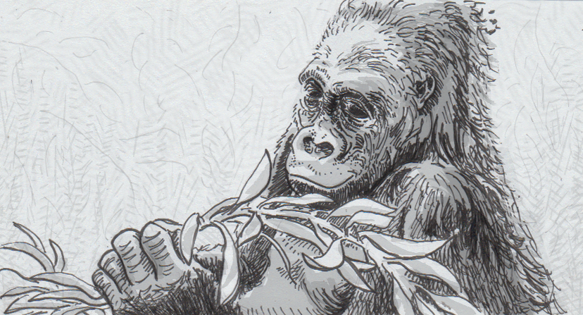 Drawing of mountain gorilla eating leaves while humming