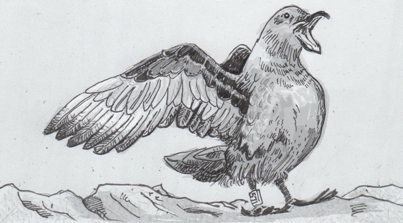 Drawing of a brown skua