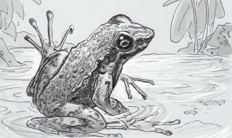 Drawing of Hylodes japi displaying its foot