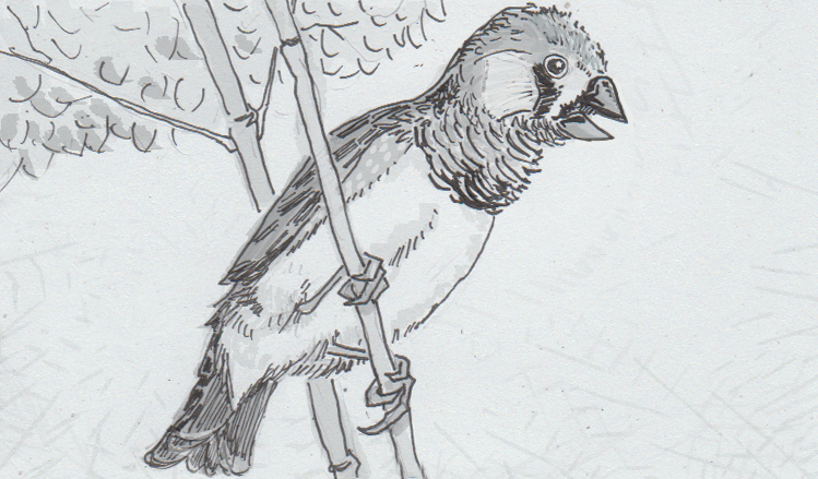Drawing of a singing zebra finch