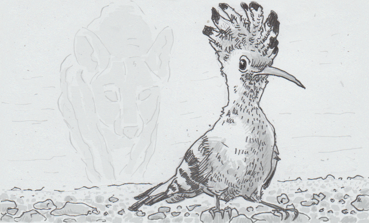 Drawing of Eurasian hoopoe bird