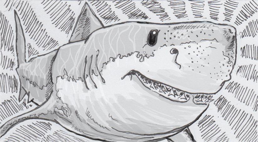 Drawing of a tiger shark