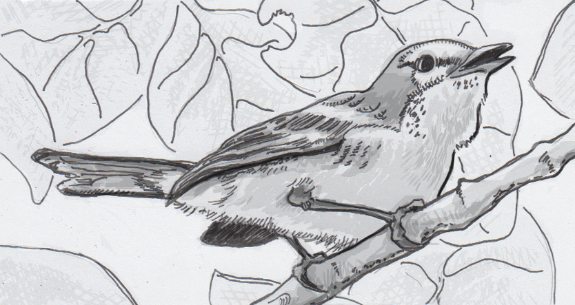 Drawing of an Adelaide's warbler singing