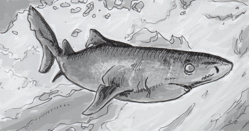 Drawing of a Greenland shark