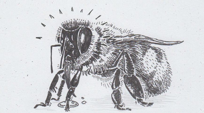 Drawing of a bee drinking sugar water