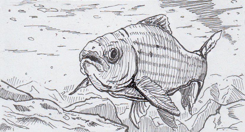 Drawing of a grayling swimming