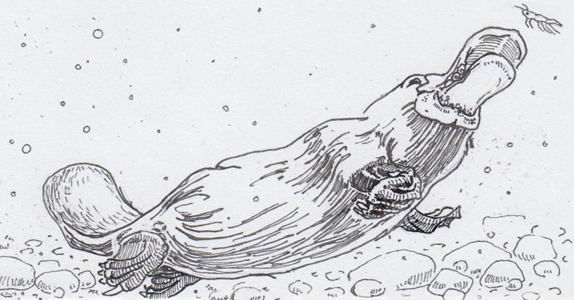 Drawing of Obdurodon dicksoni