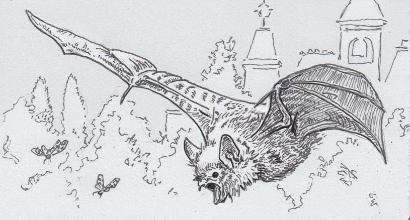 Drawing of a brown long-eared bat