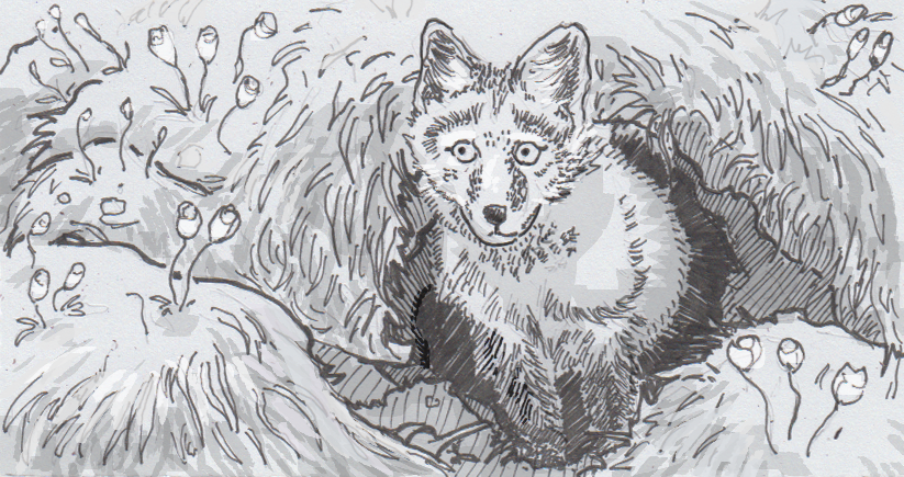 Drawing of an Arctic fox in its den