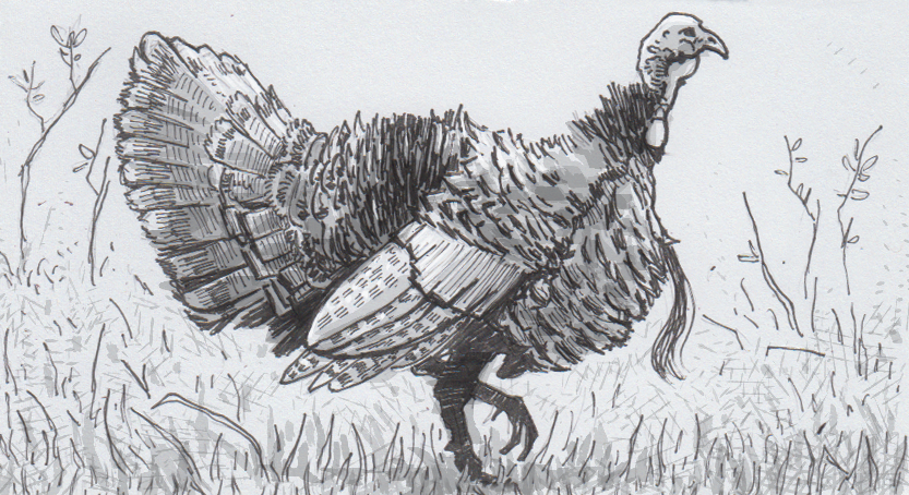 Drawing of a wild turkey