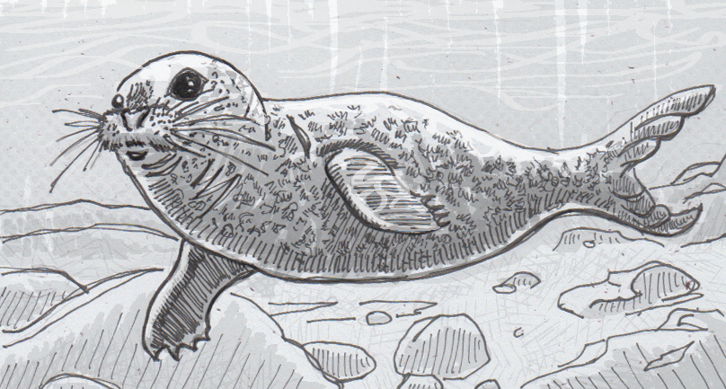 Drawing of a harbor seal underwater