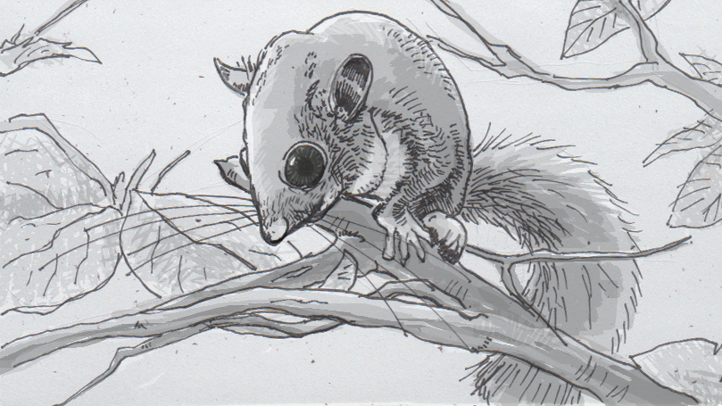 Drawing of an edible dormouse