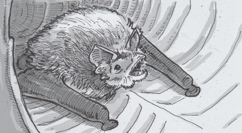 Drawing of a Spix's disk-winged bat in a leaf