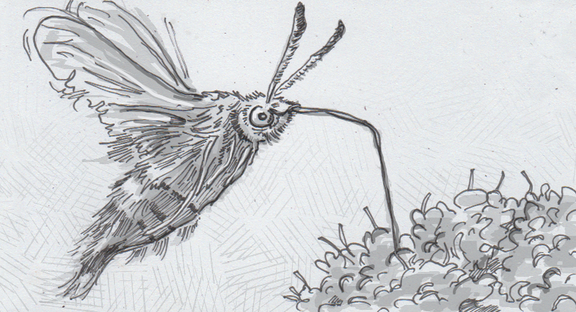 Drawing of a hawkmoth feeding on nectar from a flower