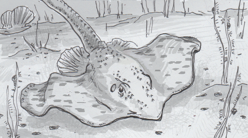 Drawing of a little skate