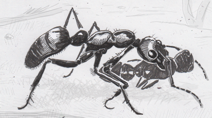 Drawing of Megaponera analis carrying an injured ant home