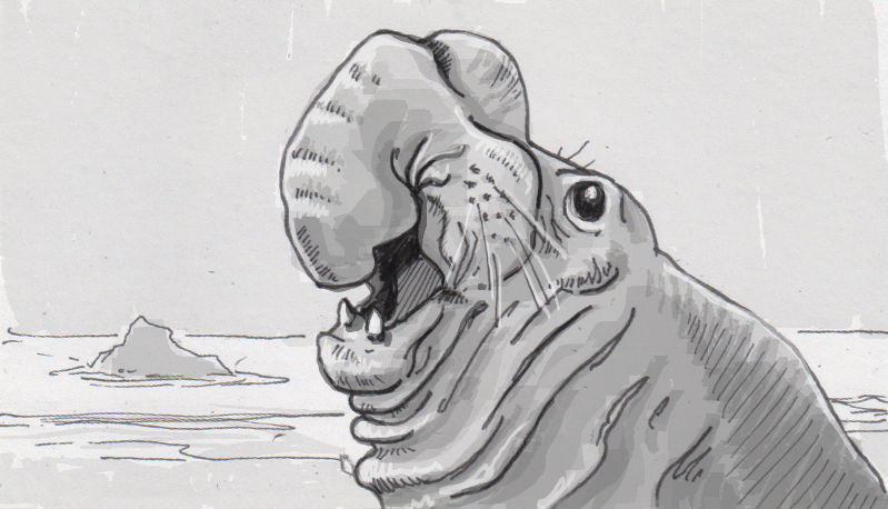 Drawing of a bull elephant seal