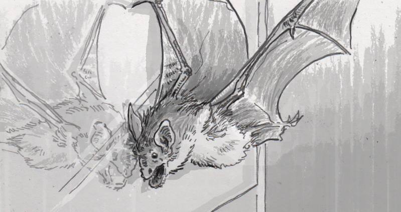 Greater mouse-eared bat flying into a window