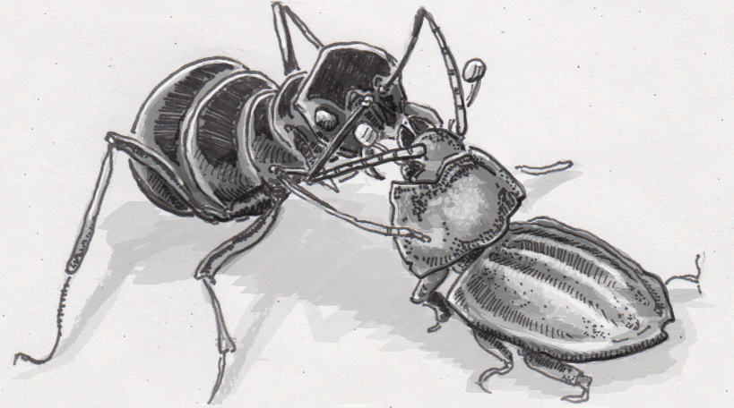 Sap beetles steal snacks from inside unsuspecting ants