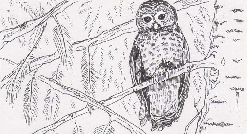 Spotted owl looking down from a tree