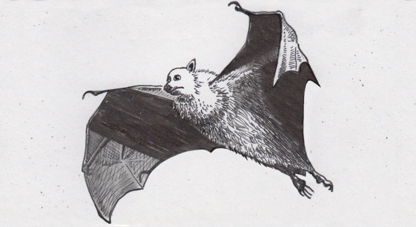 Pacific fruit bat flying from below