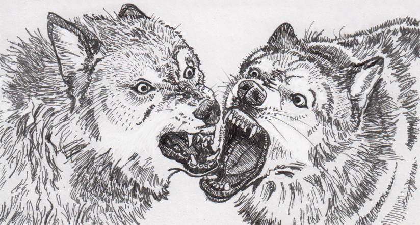 Two bickering wolves