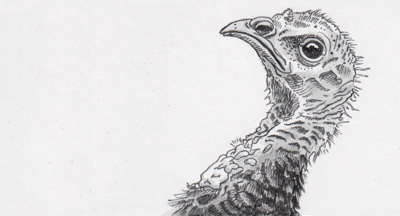 Tracing the origins of turkeys' supposed stupidity