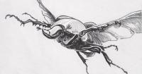 Mecynorhina torquata in flight