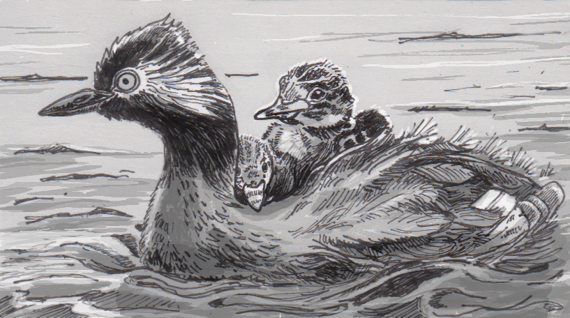 Eared grebe with hatchlings