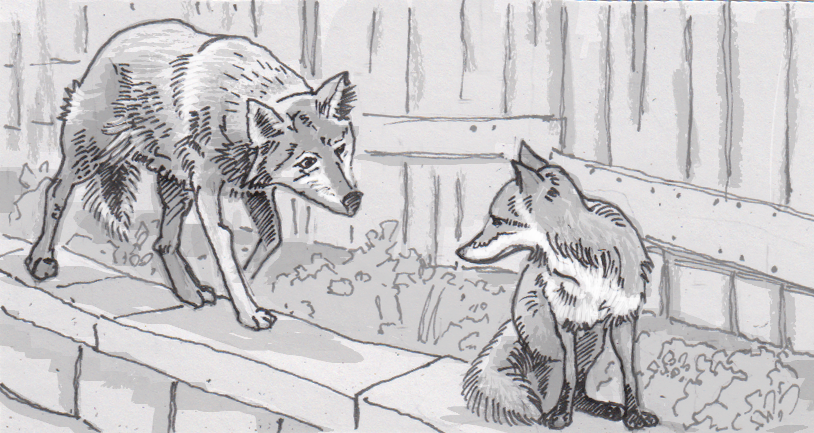Foxes and coyotes living in the city avoid the conflicts of their rural counterparts