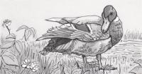 Mallard duck looking at its droppings