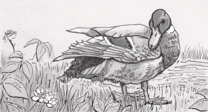 Migrating mallards may be moving a considerable quantity of seeds and spores in their stool