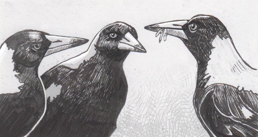 Magpies' mental capabilities may stem from the size of their social circle