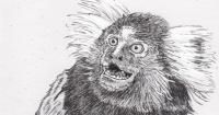 Vocalizing marmoset monkey