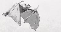 Flying fruit bat