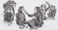 Chimpanzees and bonobos gesturing to each other