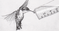 Giant hummingbird drinking from a feeder